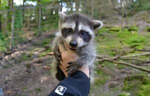 Červen v děčínské zoo: Mývalí mláďata i Den otců