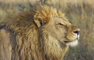 ZOO Dvůr Králové má jediné lví safari ve střední Evropě