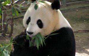 Ve vídeňské zoo se narodila pandí dvojčátka