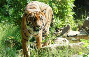 Policisté v Semilech pátrali po tygrovi