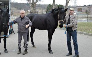 Policisté získali nové koně z Maďarska