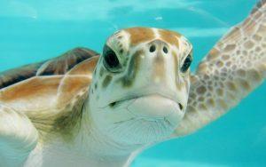 Kura Kura – želvy v ohrožení