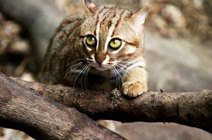Vzácná kočka ceylonská je vizáží věčné kotě